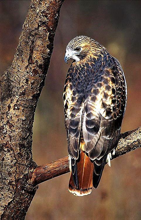 Red Tailed Hawk Buteo Jamaicensis Bird Of Prey Tattoo Birds Of Prey Nature Birds