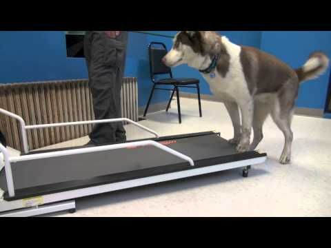 How To Train A Dog To Walk Or Run On A Treadmill Tyler Muto