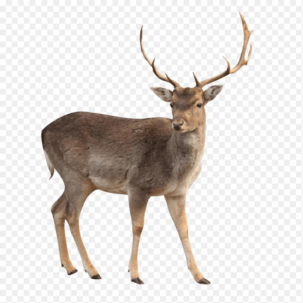 Whitetail Deer Png Deer White Background Images Awb 1024 1024 Png Download Free Transparent Background Whitetail Deer Png Png Download