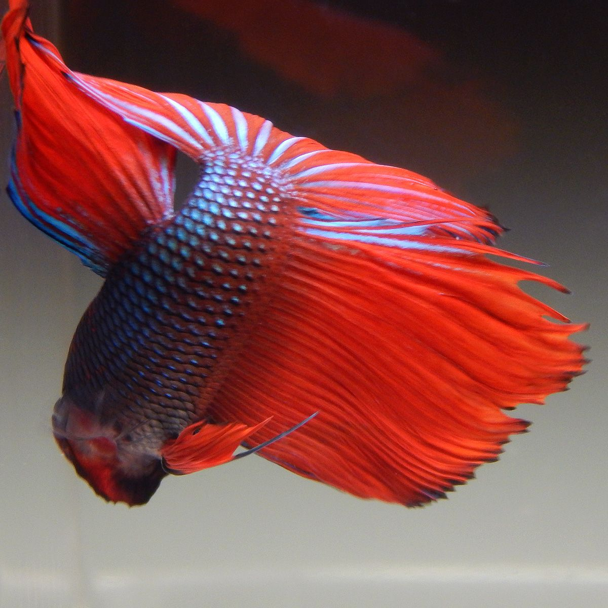 Live Betta Fish (Male) BLACK FIRE HALFMOON | Pinterest | Black fire ...