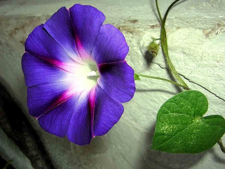 The Morning Glory Such A Beautiful Flower And It Comes In So Many Different Colours Morning Glory Flowers Morning Glory Seeds Birth Flowers