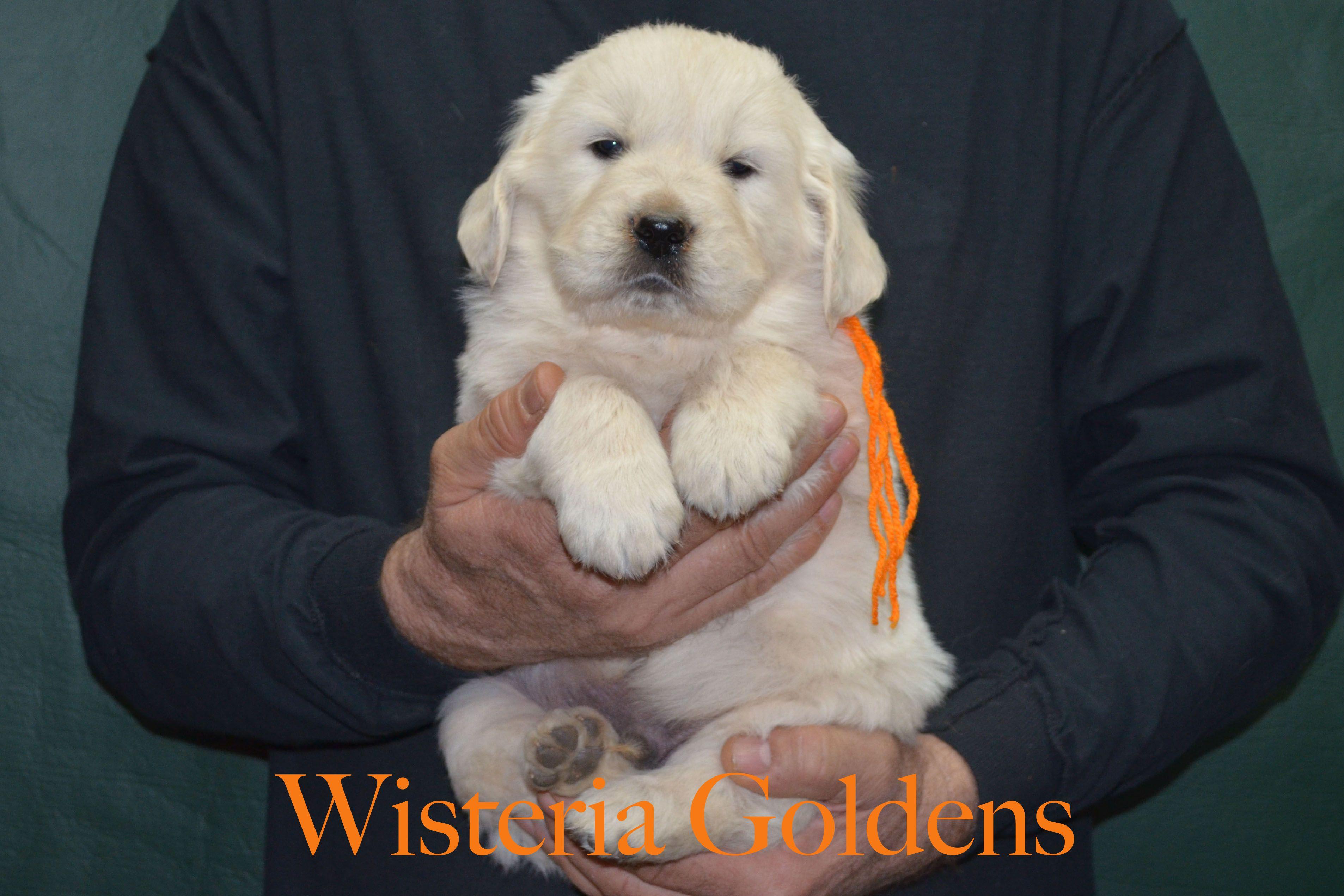 Golden Cocker Retriever The Forever Puppy Forever Puppy