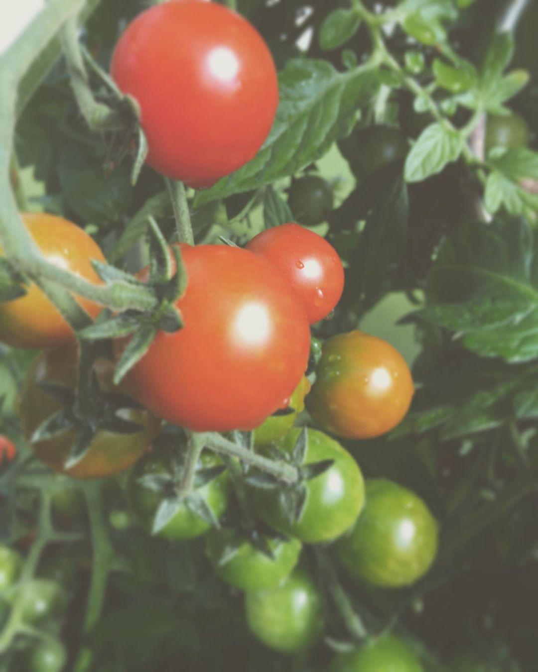 — Die Tomaten im Glashaus spielen alle Farben 🍅😋 — Drückt die Daumen, dass noch viele rot werden ✊🏻✊🏻