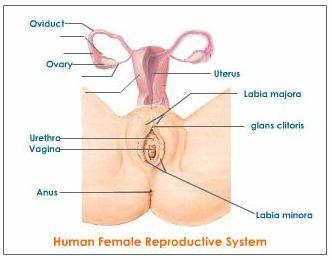 girls reproductive part