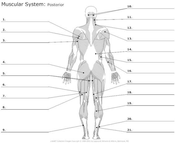 White Fat Cell Diagram Msd Wiring 6al Posterior Muscles Unlabeled: | School Stuff Anatomy, Physiology, Physiology