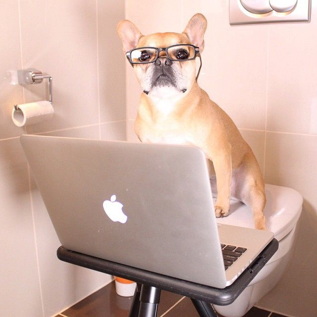 """DUUUDE?!?! Can't you see I'm busy here?!?! WTF?!?! Can't a frenchie have some privacy?!?!"" Stitch is cheating on her Caninie IQ test by using a computer… You guys should all give it a try at http://ift.tt/1CtFHNg And post your pics and results at #StudyWithCesar by stitchbully http://ift.tt/1xaMbC4"