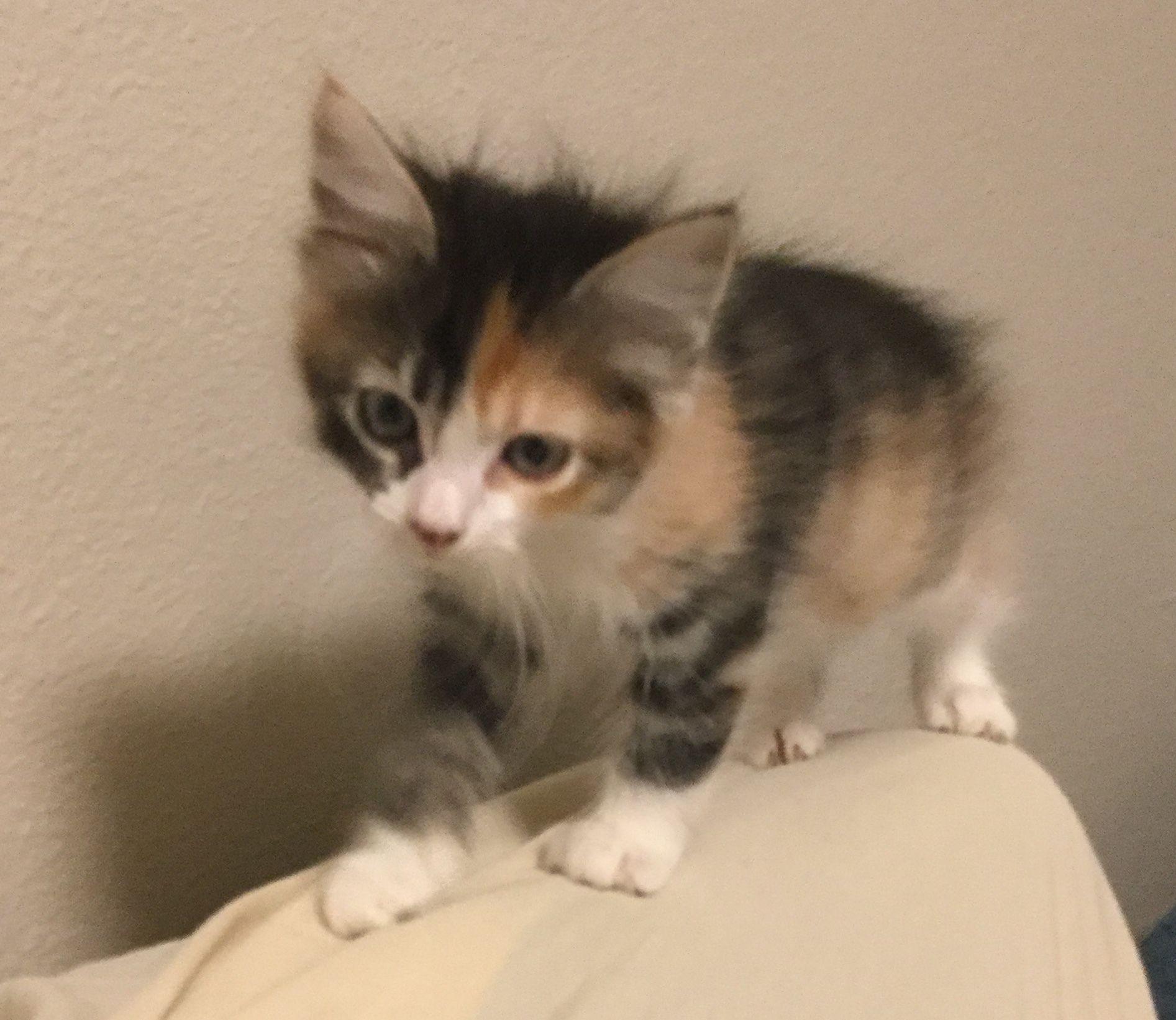 Adopt Calico Kittens On Petfinder In 2020 Calico Kitten Cat Adoption Kittens
