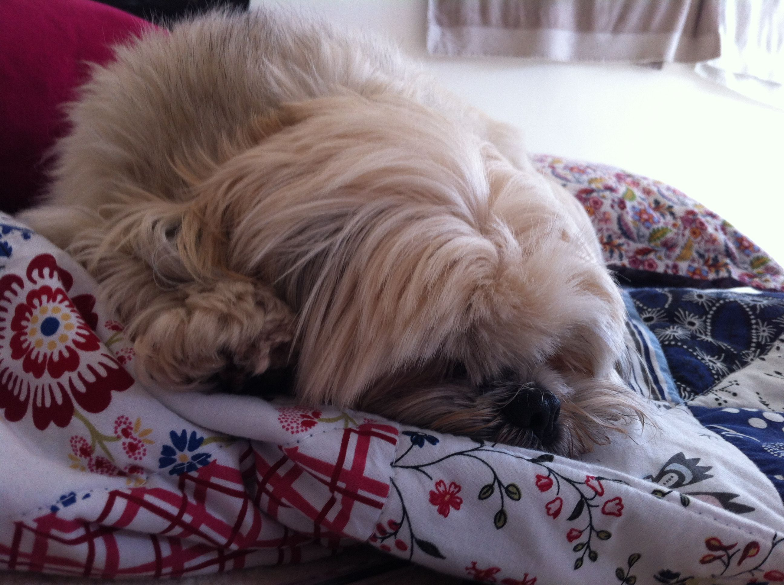 Lhasa apso lazy afternoon