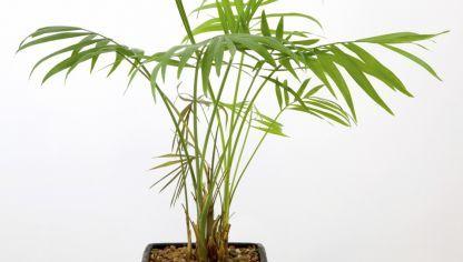camadorea cuidados y consejos para el cultivo de la chamaedorea elegans plantas y sus. Black Bedroom Furniture Sets. Home Design Ideas