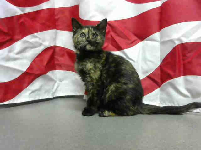 ID#A451021  I am described as a female, tortie Domestic Shorthair mix.  The shelter thinks I am about 9 weeks old. at Moreno Valley, CA Animal Services