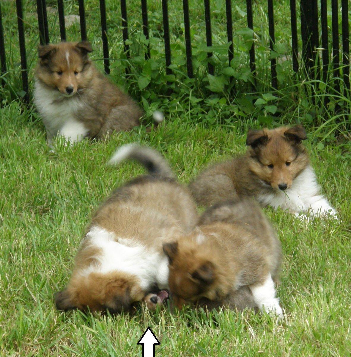 Texas Sheltie Breeders Sheltie Pups Shetland Sheepdog Puppy Lockehill Shelties Puppy Page Sheep Dog Puppy Shetland Sheepdog Puppies Sheltie