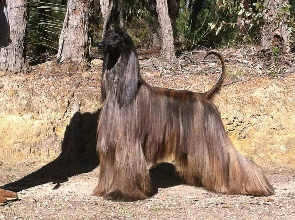 Red Brindle Afghan Hound Hound Dog Brindle