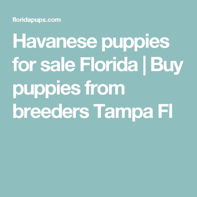 Havanese Puppies For Sale Florida Buy Puppies From Breeders Tampa Fl Havanese Puppies For Sale Puppies For Sale Havanese Puppies