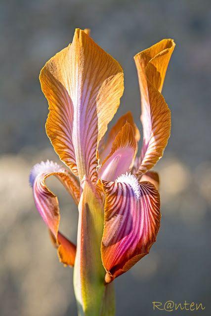 Iris stolonifera 'Morning Coffee'