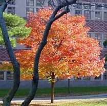 Acer rubrum October Glory - October Glory Red Maple