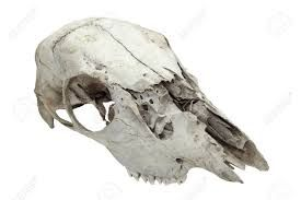 Image result for animal skull