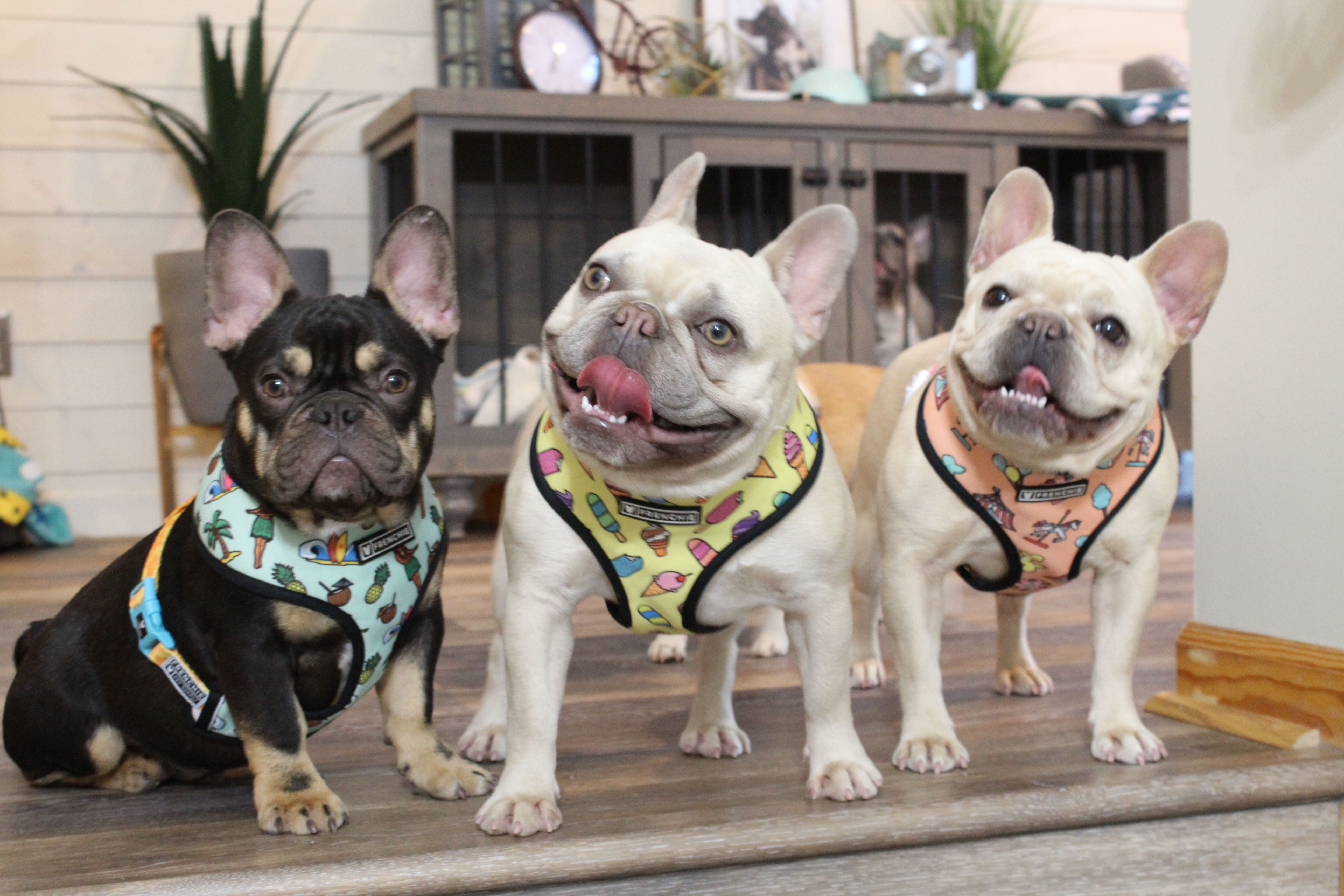 Pin by Frolicking French on Frenchie Bulldog Harnesses