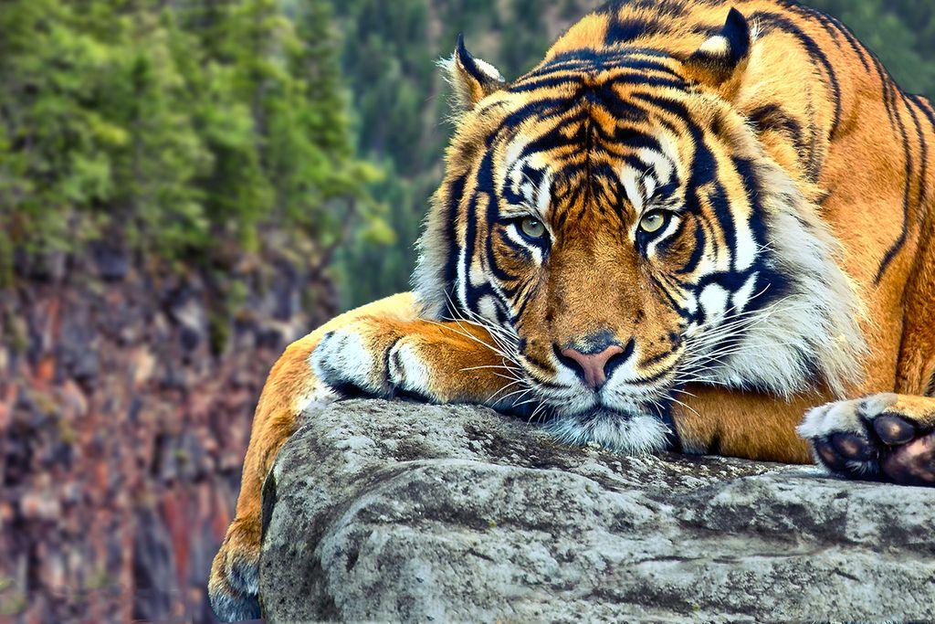 Crouching tiger tigres felin animaux et faune - Images tigres gratuites ...