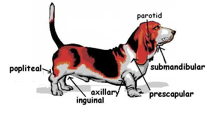 Where Are The Lymphnodes Located On A Dog I Have A Mini Schnauzer Dog Glands Dogs Bassett Hound