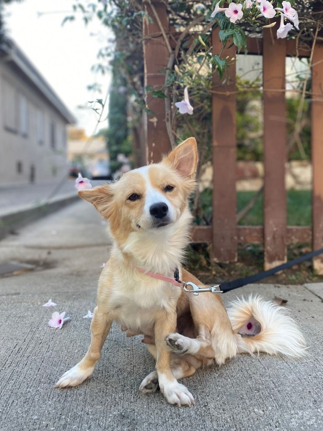 Adopt Lady The Corgi Mix Corgi Corgi Mix Pets