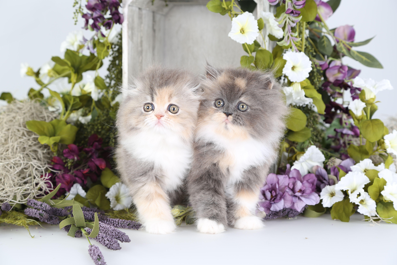 Dilute Calico Persian Kitten & A Dilute Calico Persian Fold Kitten