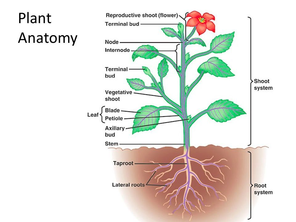 Image result for anatomy of a flower with roots | Botanica | Pinterest