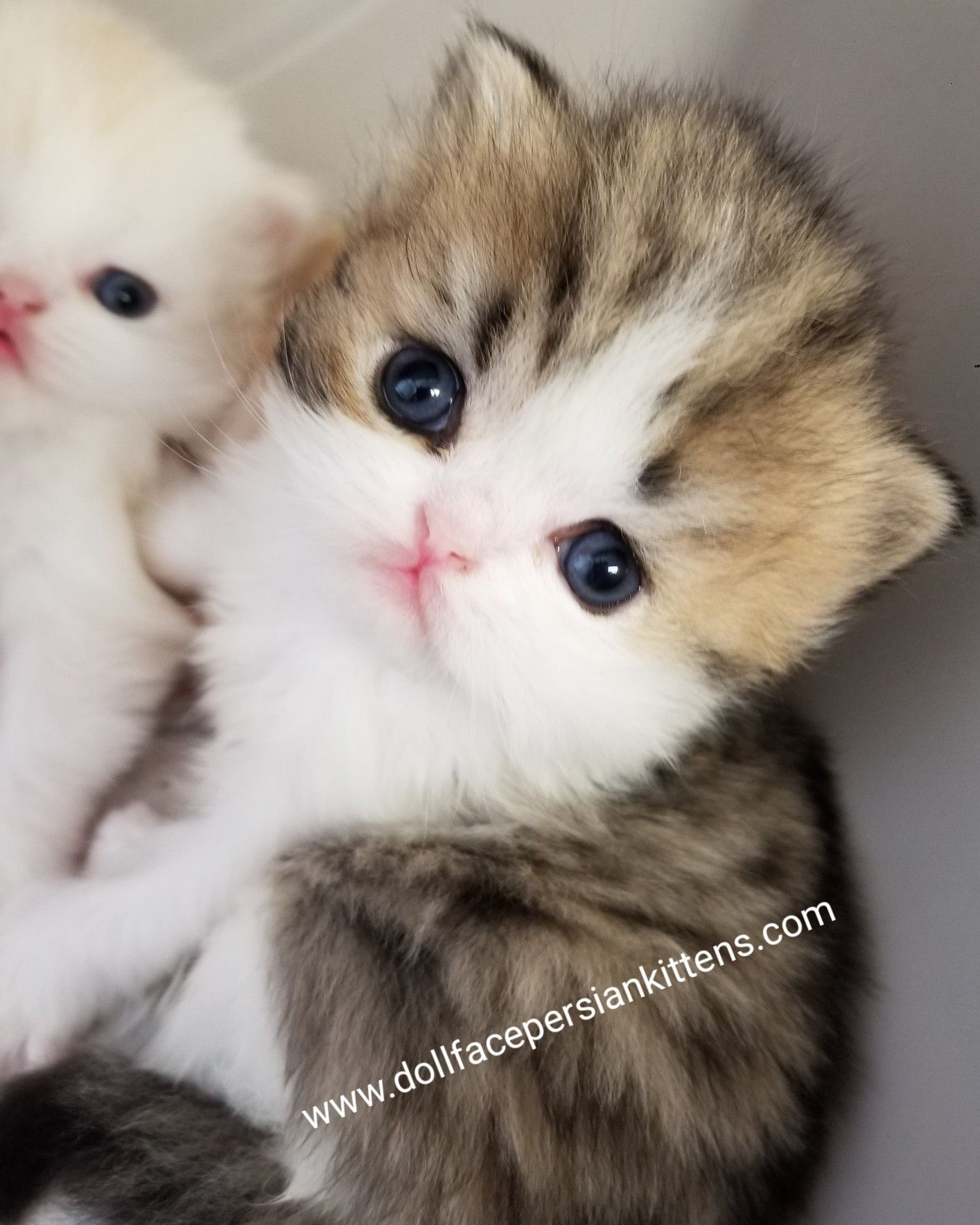 Did This Sweet Baby Kitten Capture Your Heart Would You Like One Of Your Own Well Then We Invite You To In 2020 Kittens Cutest Persian Kittens White Persian Kittens