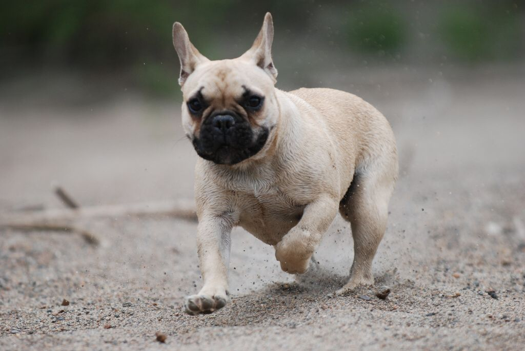 French Bulldog Bulten With Images French Bulldog Bulldog