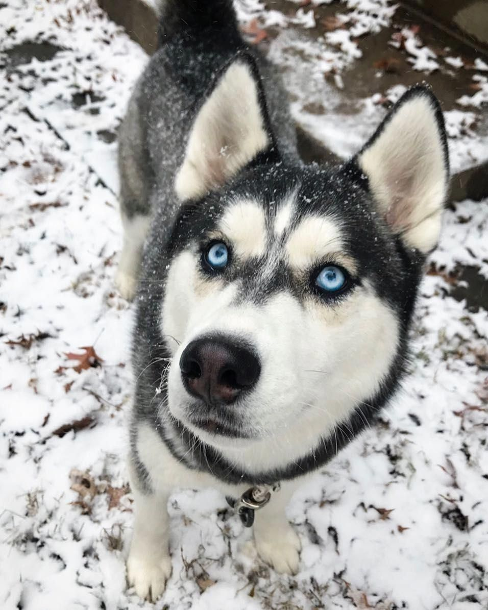 More About Intelligent Siberian Huskies Pup Temperament