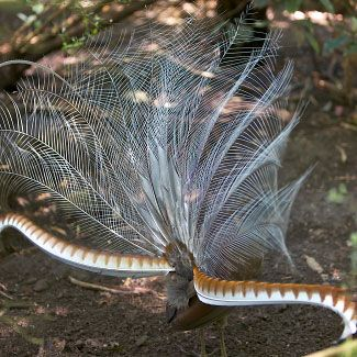 A displaying male Superb Lyrebird at Healesville near Melbourne in Victoria, Southeastern Australia, by Michael Halliday.