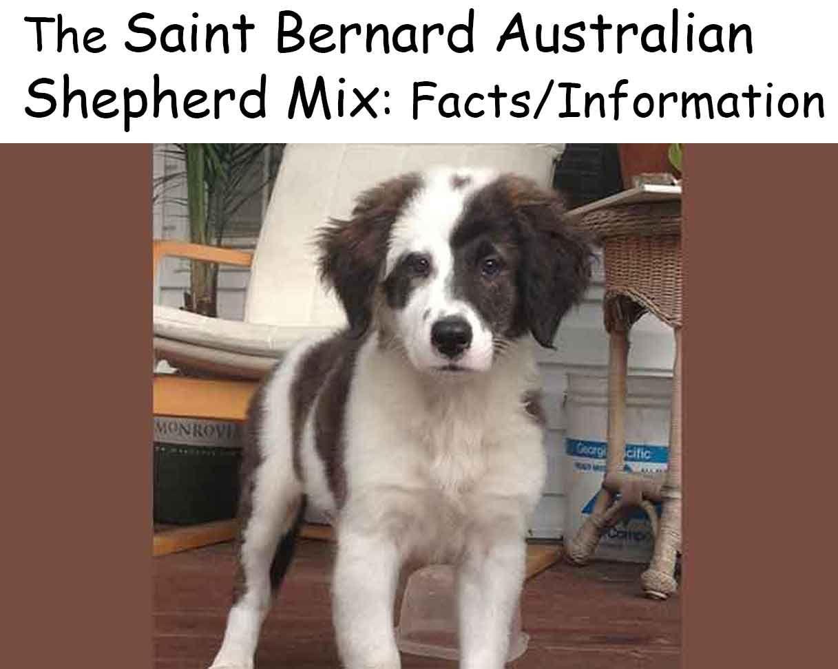 The Saint Bernard Australian Shepherd Mix Facts Information How To Train Your Dog Australian Shepherd Saint Bernard Australian Shepherd Mix
