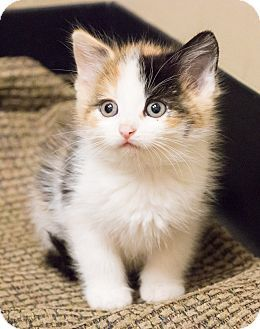 Calico Kittens For Sale Near Me : calico, kittens, Chicago,, Calico., Kitten, Adoption., Adoption,, Black, Adoption