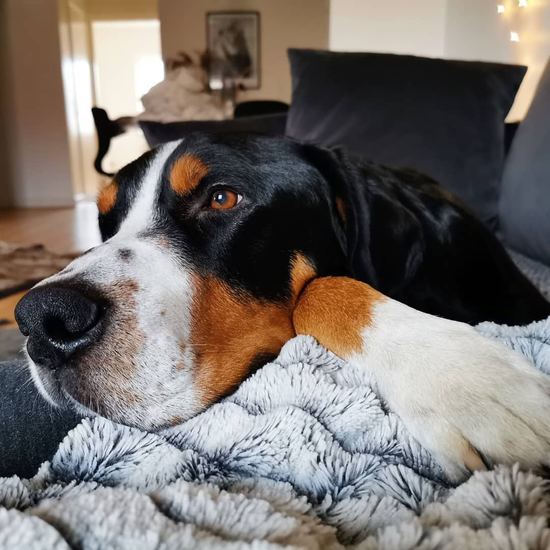 Dog Reactions To Bee Wasp Ant Stings And Spider Bites The Day After Christmas And I Am So Tired Rambo Grosser Spider Bites Greater Swiss Mountain Dog Dogs