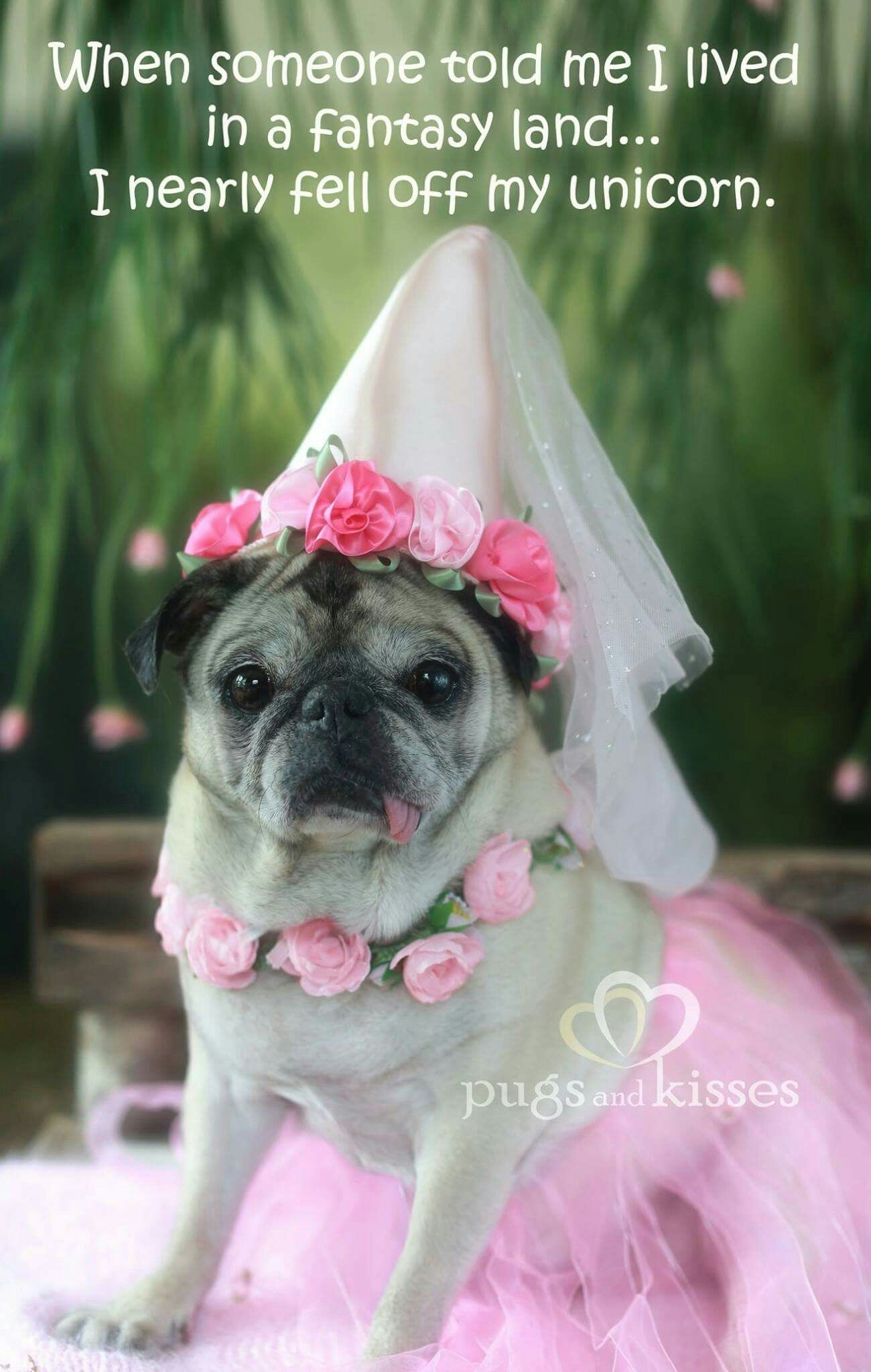 907f72e7f22 Princess pug. Find this Pin and more on Pugs ...