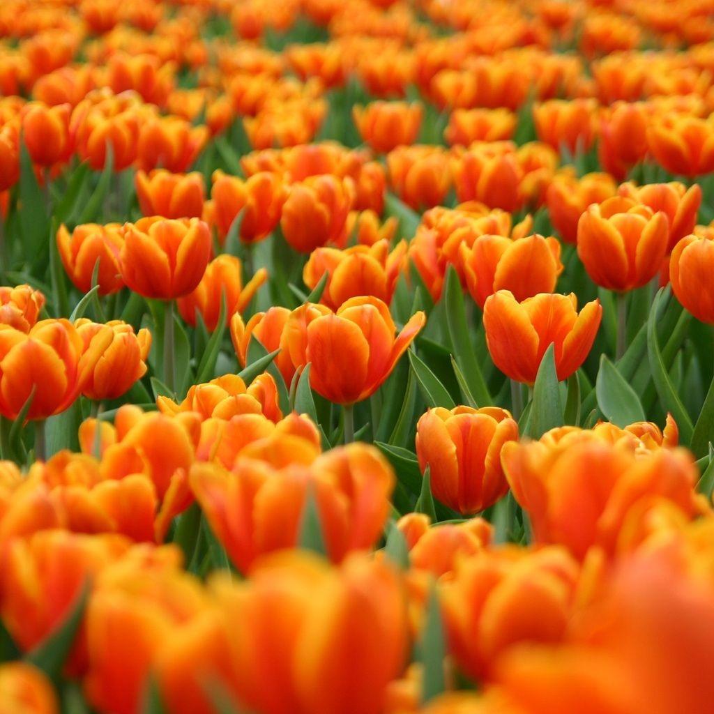 Primal Dutch Orange Tulips Orange Nature Pinterest