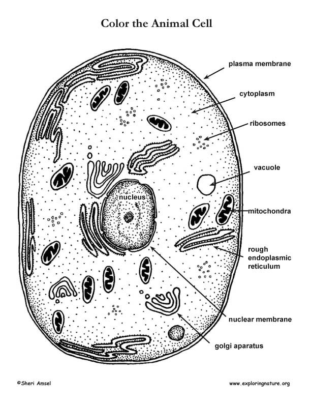 Animal Cell Coloring Page Animal Cells Worksheet Anatomy Coloring Book Plant And Animal Cells