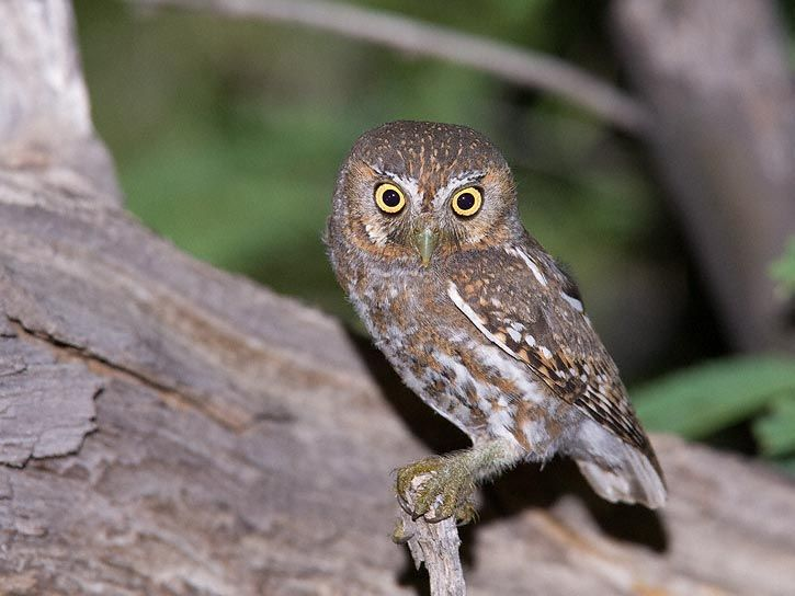 The Elf owl is found in Southwest USA to Central Mexico and Baja ...