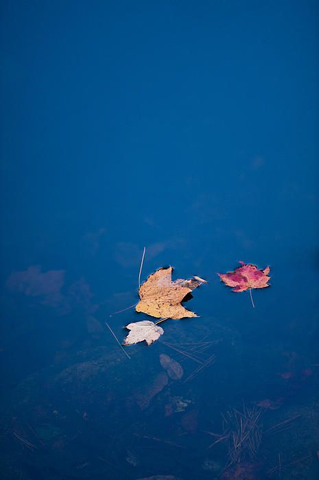 Autumn leaves floating in blue water