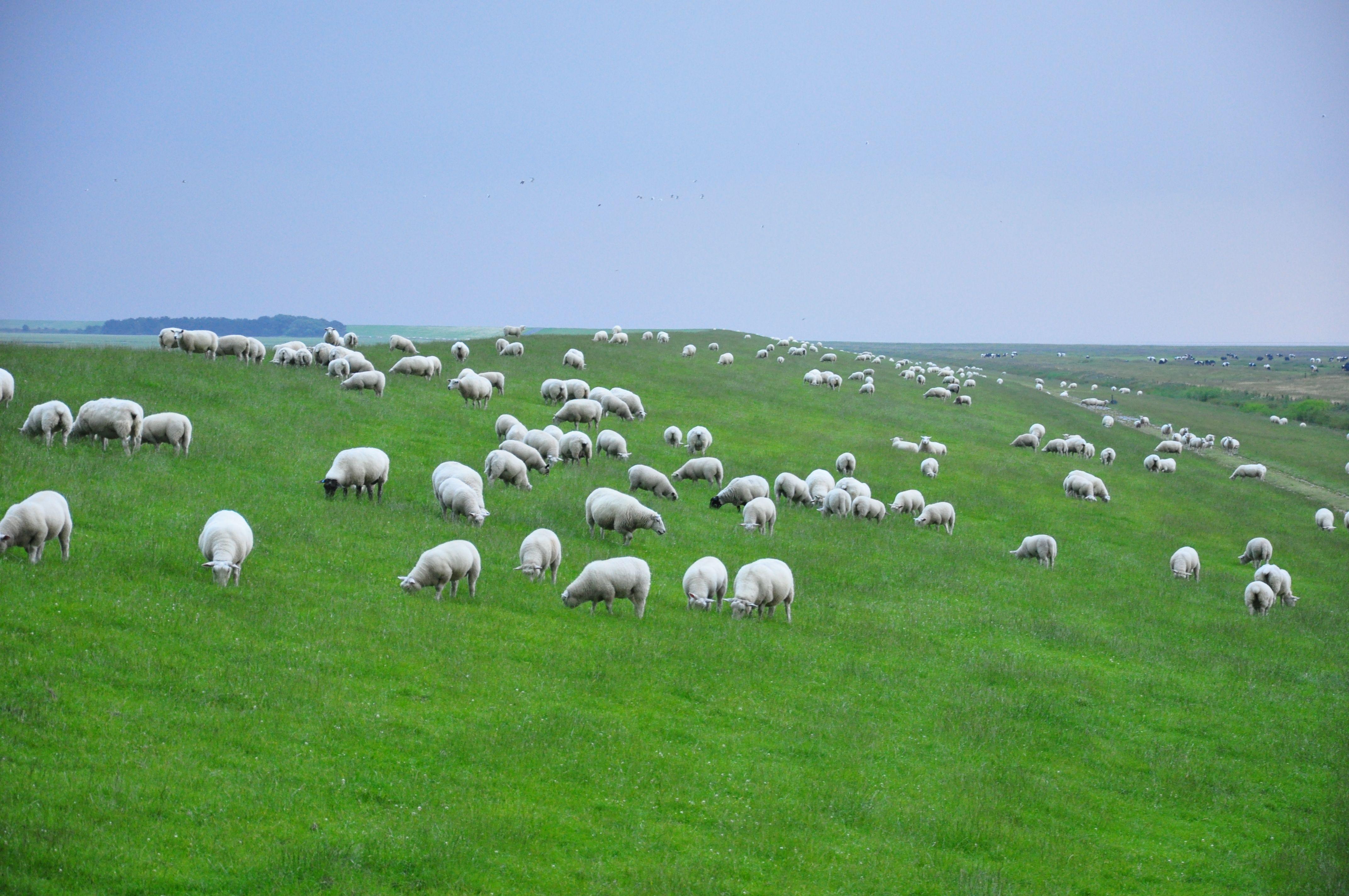 lots of sheep in north germany Sheep, Lamb, Animals