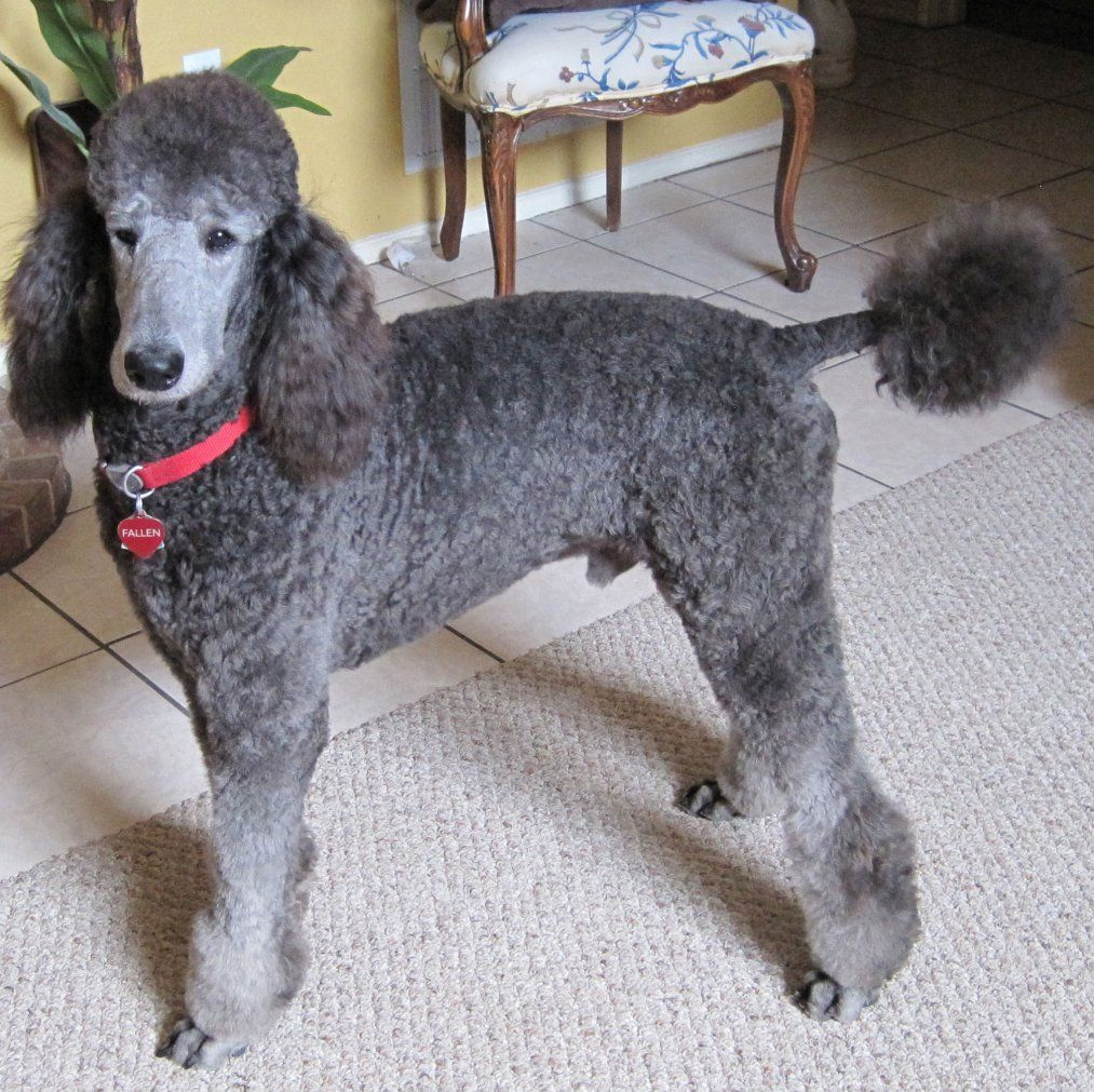 Silver Poodle Puppy Pictures References