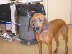 Sarah Is An Adoptable Redbone Coonhound Dog In Santa Rosa Ca