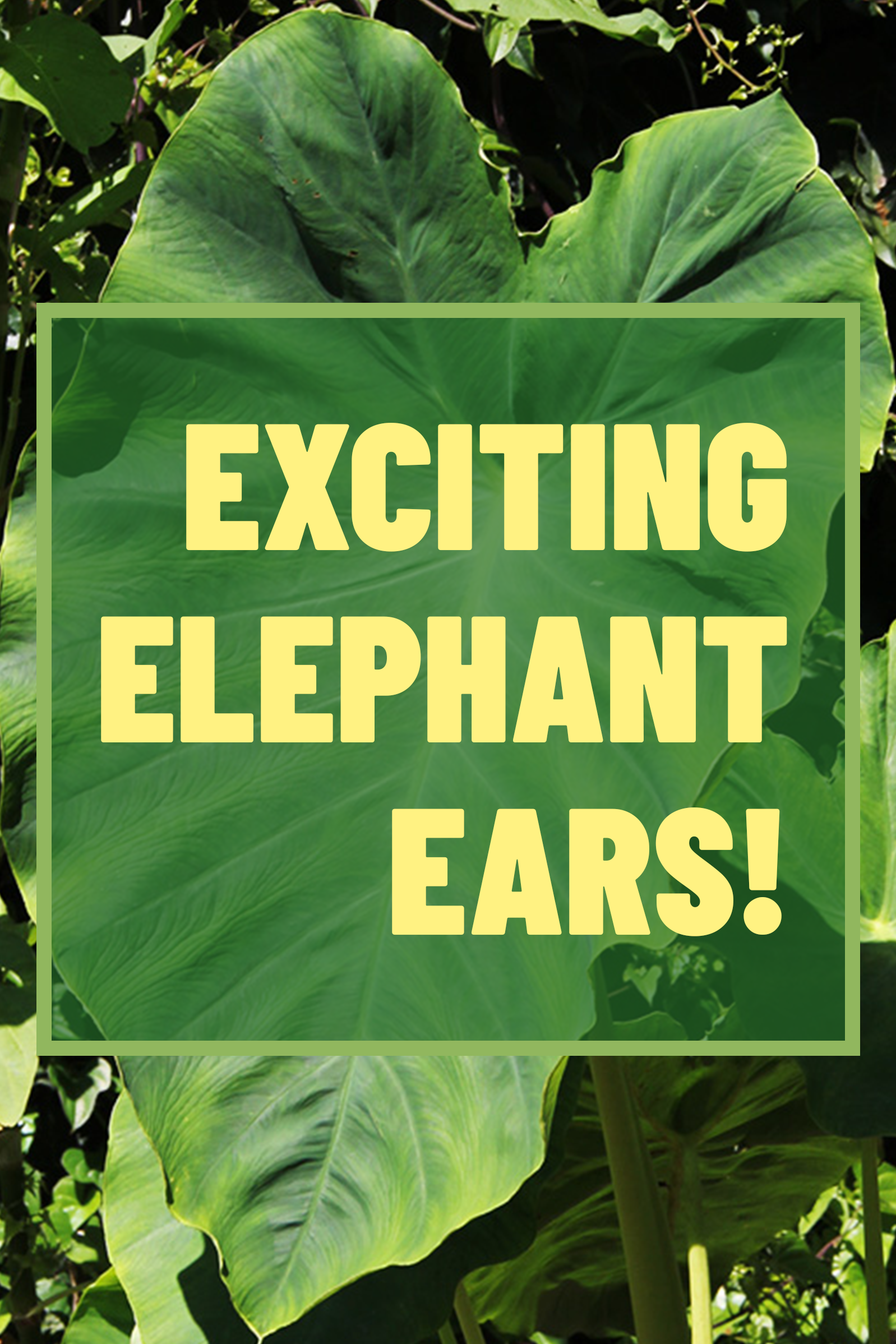 Grow Tropical Elephant Ears In Your Garden Or Patio Planter This