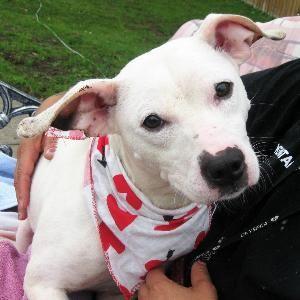 Tina At Cny Spca Syracuse New York Pitbull Terrier Bull