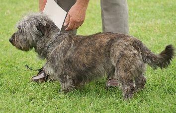 Irish Wolfhound Dachshund Mix Pet Dogs Irish Wolfhound
