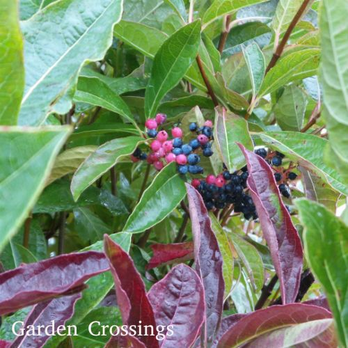 Brandywine™ Viburnum displays  clusters of multicolored berries in the fall along with dark maroon-red glossy foliage.