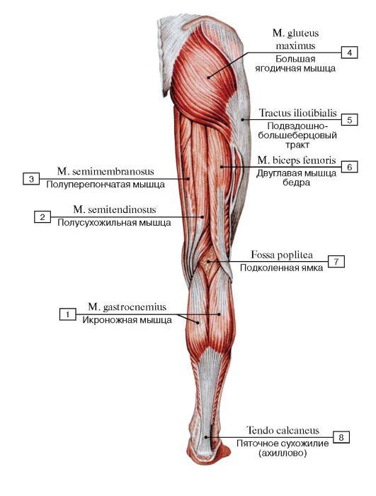 расположение мышц на ногах человека схема протестировать этот велосипед