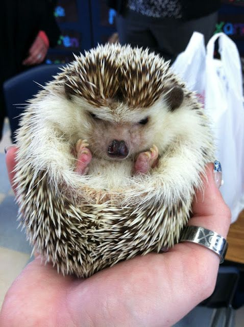 Grumpy Hedgehog Cute Hedgehogs Pinterest Hedgehogs Adorable - This instagram account will satisfy your addiction for adorable hedgehogs