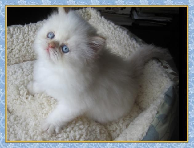 Himalayan cats for sale new jersey