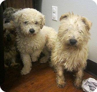 Oak Ridge Nj Cocker Spaniel Yorkie Yorkshire Terrier Mix Meet 1 11 14 Puppymill Rescue A Dog For Adoption Adoption Dog Adoption Pet Adoption