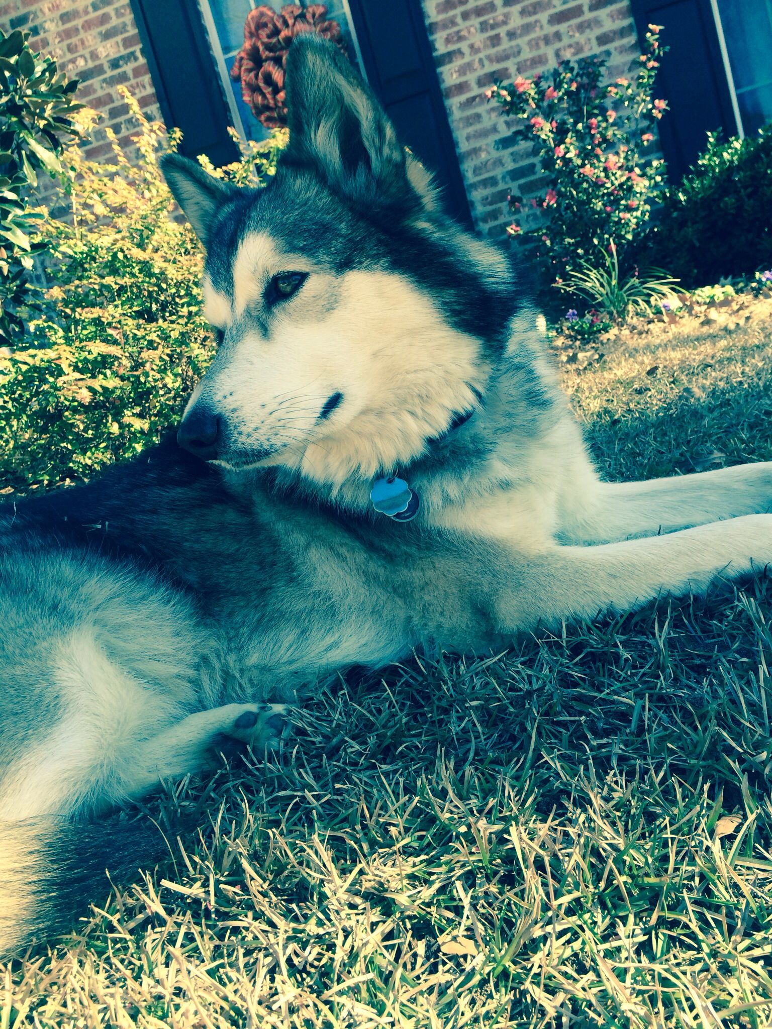 Huskygerman shepard mix wolf dog dogs and puppies